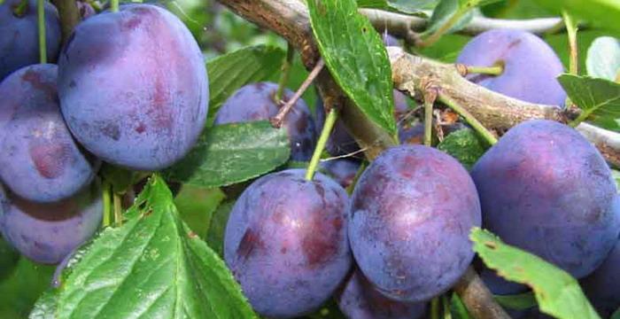 Puhoi organic plums-Dr Kirichuk's Rejuvenate&Detox Sweet Plum Tonic